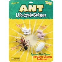 Ant - Life Cycle Stages